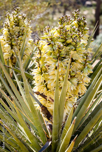 Blooming yucca plant in the mojave desert.