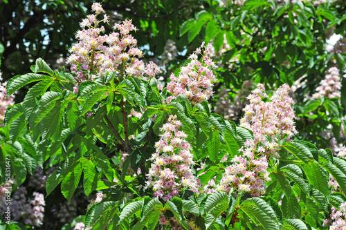Foto op Plexiglas Kiev Spring blossoming chestnut (Castanea sativa) flower