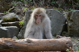 地獄谷野猿公園の猿