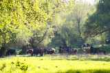 Cows graze on pasture among trees in Danube floods areas. Ukraine