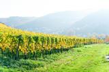 Beautiful landscape of german Mosel autumn vineyard field on Rhine river.