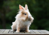 Cute little funny lionhead red rabbit in the gardren.