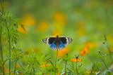 Butterfly perching on Flower (The Blue Pansy Butterfly)