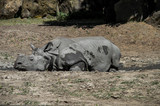 Rhino resting in a mud