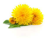 Three dandelions with leaves. - 158362096