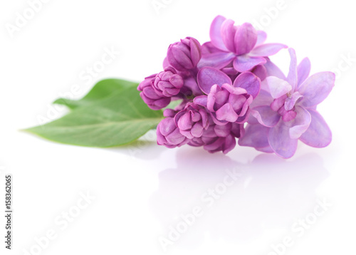 Pink lilac flower.