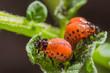 Red larva of the Colorado potato beetle eats potato leaves