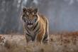 tiger, siberian tiger (Ursus maritimus),