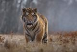 tiger, siberian tiger (Ursus maritimus), - 158370089