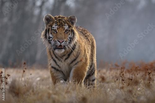 Poster tiger, siberian tiger (Ursus maritimus),