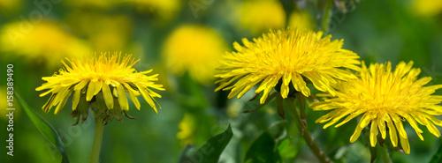yellow dandelion flower in green grass - 158389490