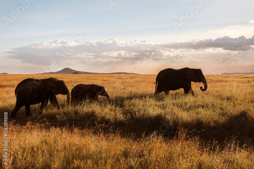 Family of elephants in the savannah at sunset . Poster