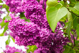 Blooming lilac on a leaf background. - 158394804