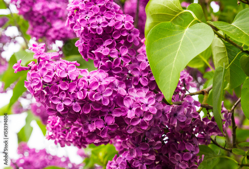 Blooming lilac on a leaf background.