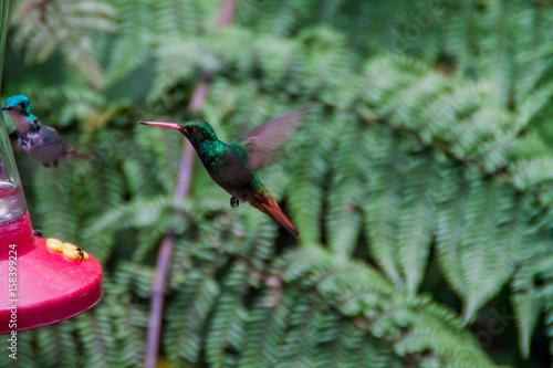Hummingbirds przy dozownikiem w Mindo, Ekwador