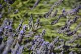 Papillon et lavande en Provence
