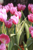 Bright pink tulips blooming.