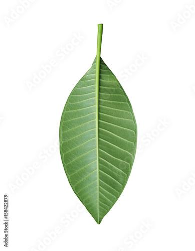 Aluminium Plumeria Green Plumeria leaves of tropical trees in Thailand.