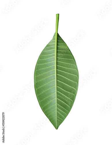 Plexiglas Plumeria Green Plumeria leaves of tropical trees in Thailand.