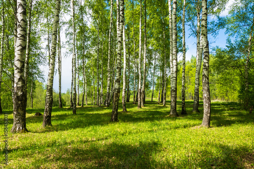 Birch grove on a bright Sunny day. - 158433031