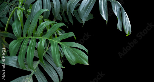 Foto Murales Monstera plant leaves, green tropical forest, evergreen vine on black background