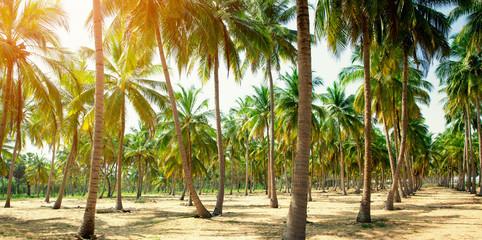 Coconut Palm trees on sandy beach
