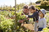 Father And Children Looking At Tomatoes Growing On Allotment - 158456441