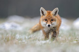 Red Fox in winter fox - 158476639