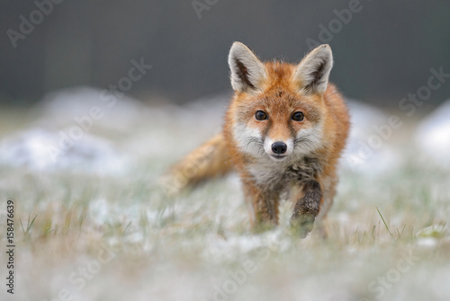 Obraz na płótnie Red Fox in winter fox