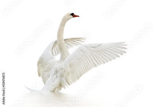 Swan on the surface.