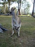 kangaroo with a baby Australia