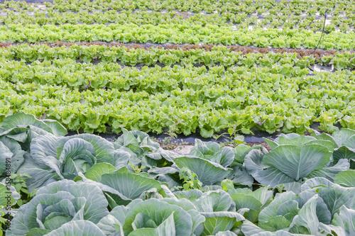 cultures maraîchères, agriculture biologique en plein-champ, choux et salades