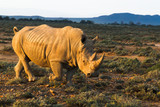 Rhino in wild nature (Inverdoorn, South Africa)