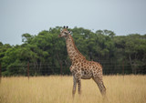 Young giraffe at the grasslands on the area of the Ezulwini Game Lodge