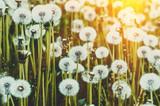 Dandelions in a meadow in warm summer