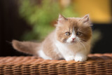 Babykater in cinnamon white, Britisch Langhaar Kitten