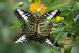 Farfalle durante l'accoppiamento