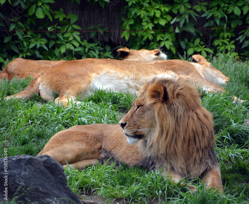 Lion is one of the four big cats in the genus Panthera, and a member of the family Felidae. With some males exceeding 250 kg (550 lb) in weight,