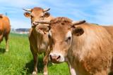 Limousin cows in landscape