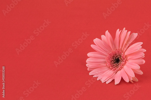 Fotobehang Gerbera Pink Gebera flower on red background with copy space