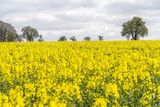 field of rapeseed at spring time