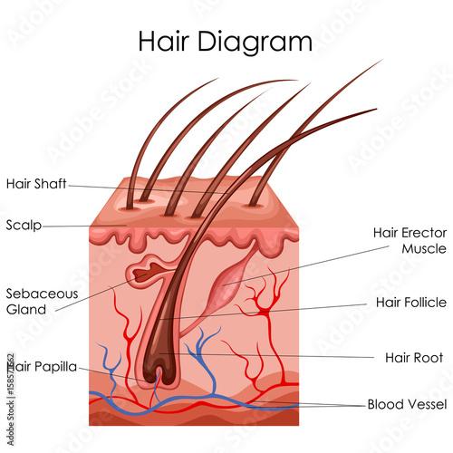 400_F_158571662_ENfoMUPzLPljG1hIMlTRMplRFwjyGKRL medical education chart of biology for hair diagram buy photos
