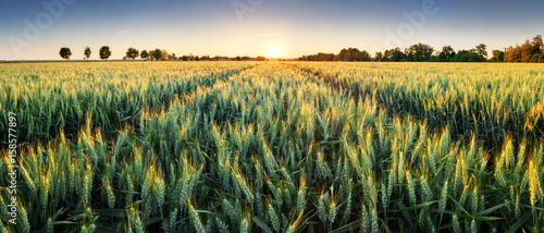 Wheat field at sunset, panorama - 158577897