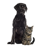 Labrador and european cat sitting, isolated on white