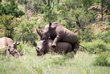 Nashörner bei der Paarung in Südafrika