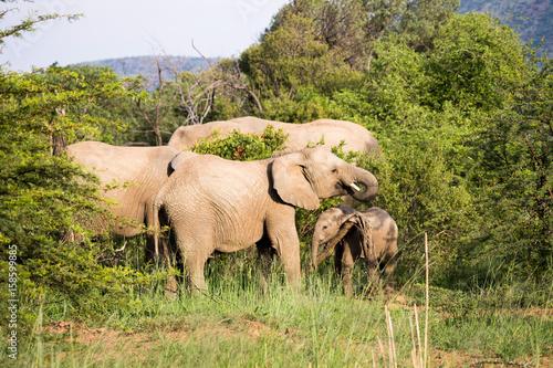 Elefantenherde in Südafrika Poster