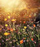 Summer flower field afternoon light