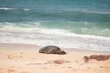 Green Sea Turtle - Suppenschildkröte