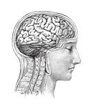 Human brain / vintage illustration - 158604623