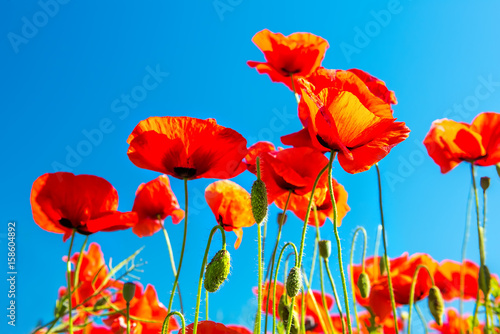 Aluminium Klaprozen Flowering scarlet poppies against the blue sky. Sunny bright day.